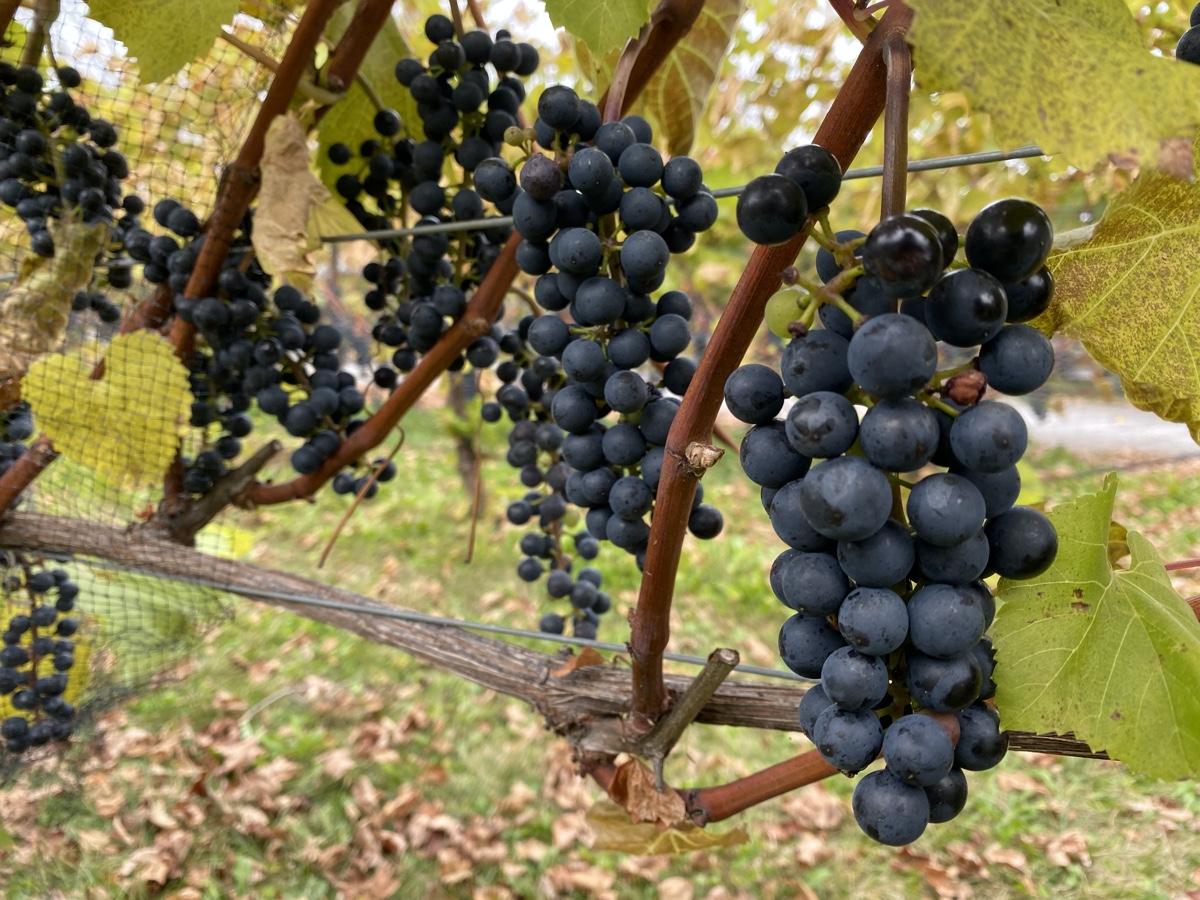 baco noir grapes at the blomidon estate winery nova scotia road trip