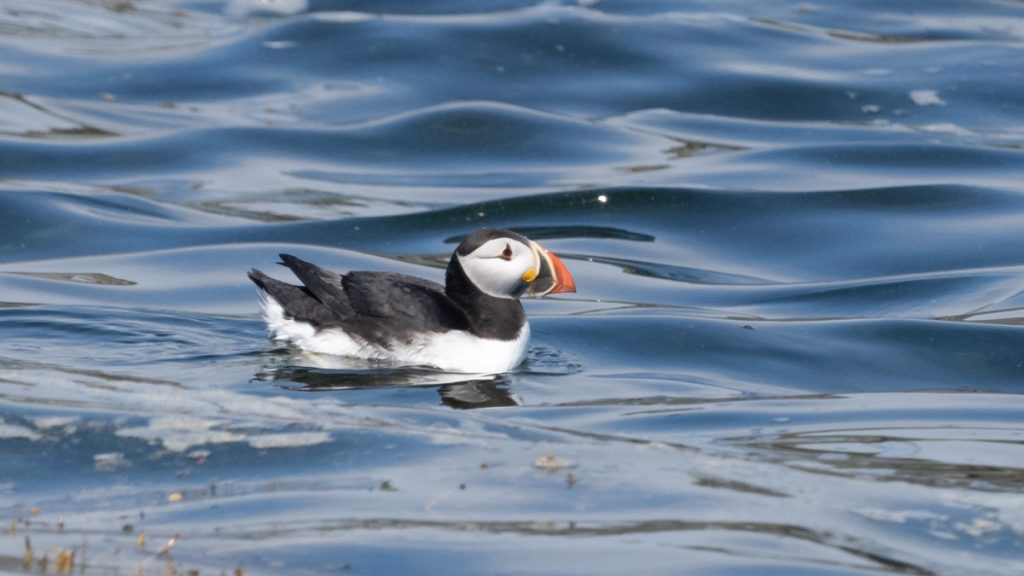 a puffin floats on the ocean near pearl island on the south shore of nova scotia where to see puffins in nova scotia