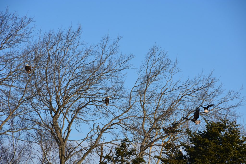 sheffield mills eagle watch in the annapolis valley